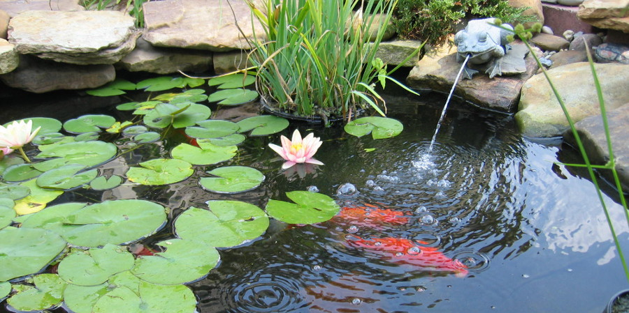 Outdoor garden and koi fish ponds aqua animania pets for Easy pond plants